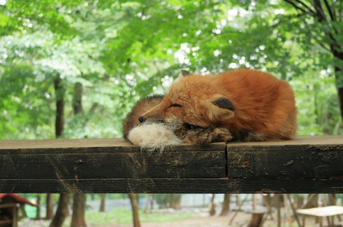 夏のキツネ お昼寝中