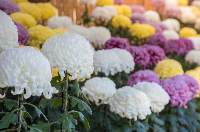 白石城の菊花展示会の画像