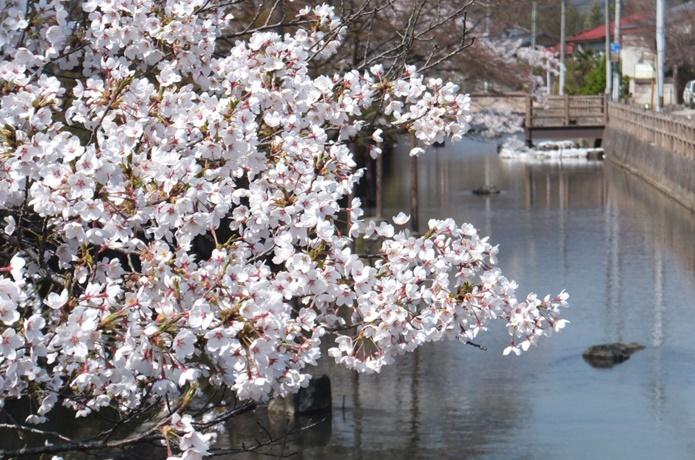 沢端川の桜