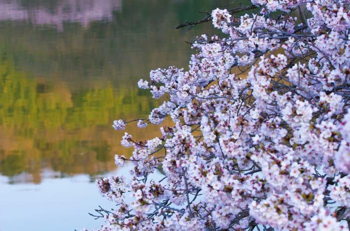 馬牛沼の桜