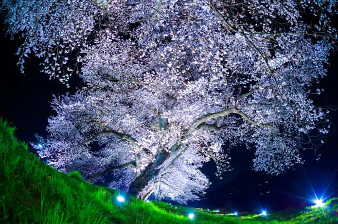 一目千本桜のライトアップ