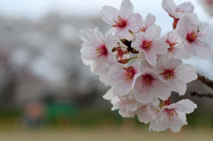 一目千本桜の見ごろ