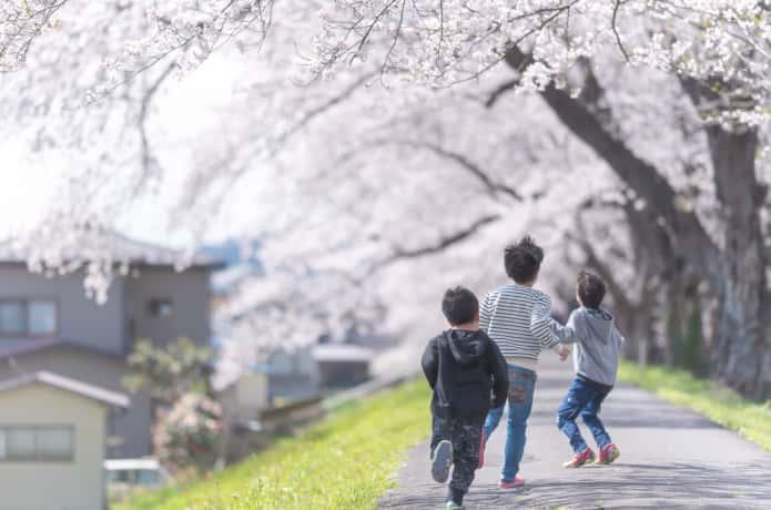白石川の桜