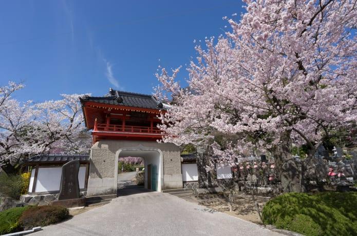 定林寺の桜