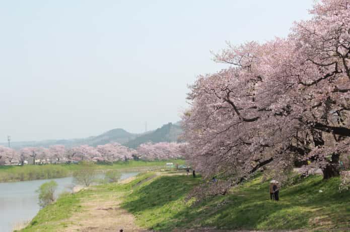 末広歩道橋からの桜