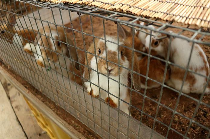 蔵王キツネ村のウサギ