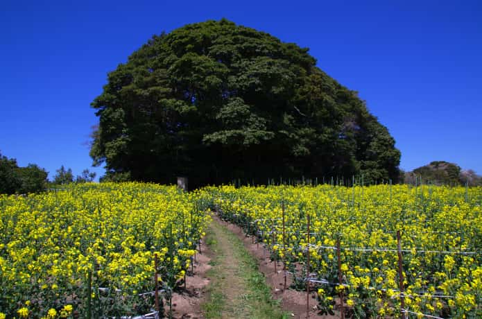 浦戸諸島 菜の花