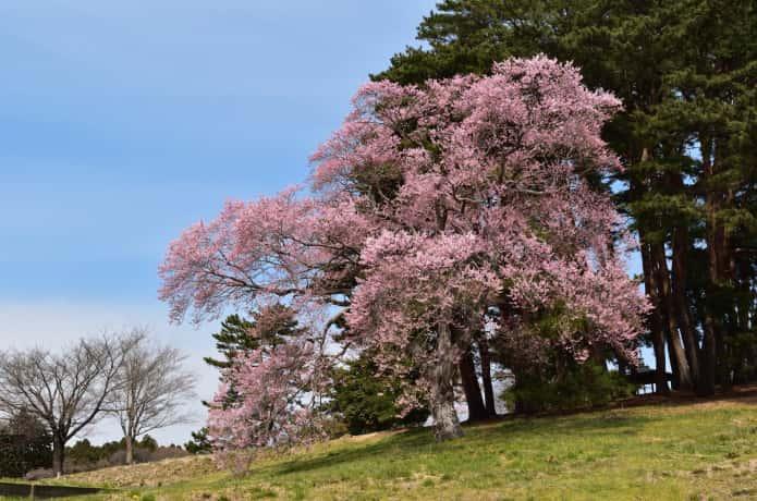 多賀城跡 桜