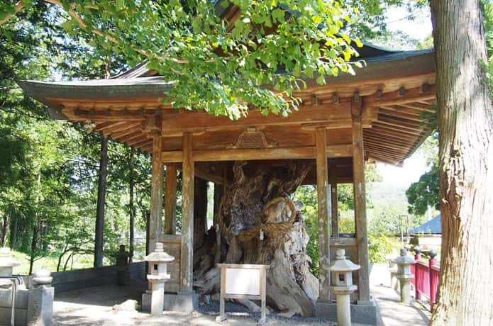 西方寺 ケヤキの木