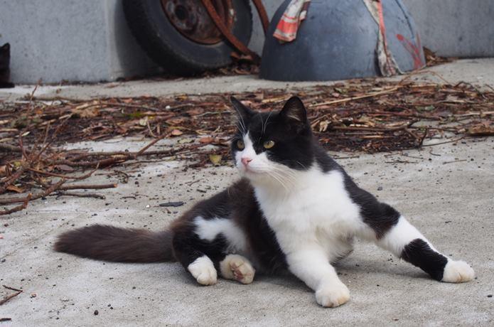 田代島 白黒猫