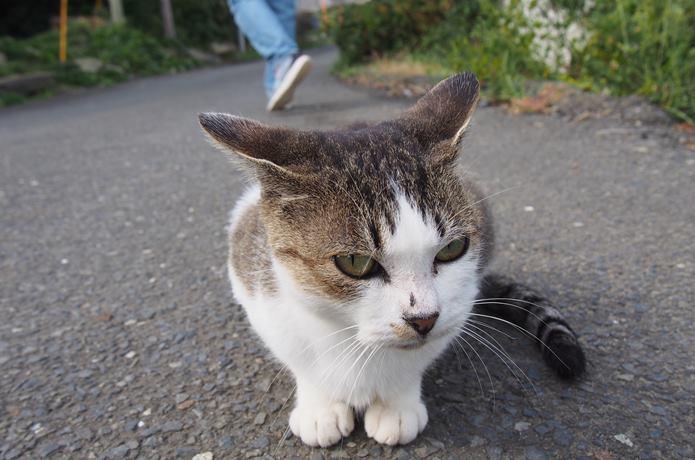 田代島 カメラ目線の猫