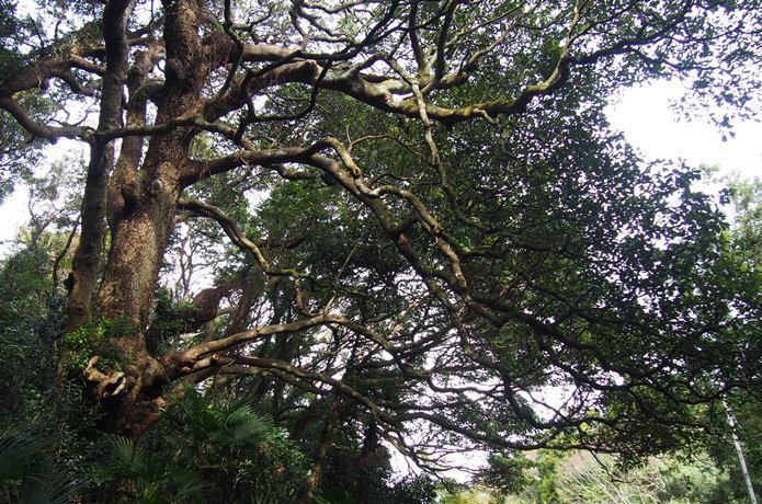 田代島 巨木