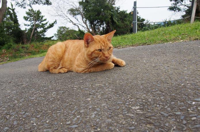 マンガアイランドの猫