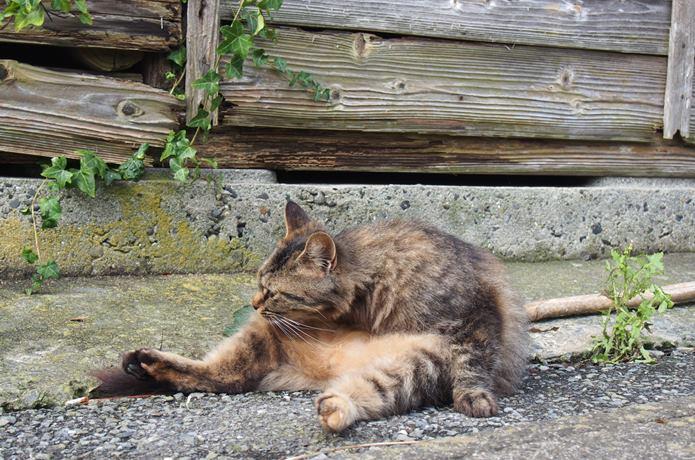 田代島 オッサン座りする猫