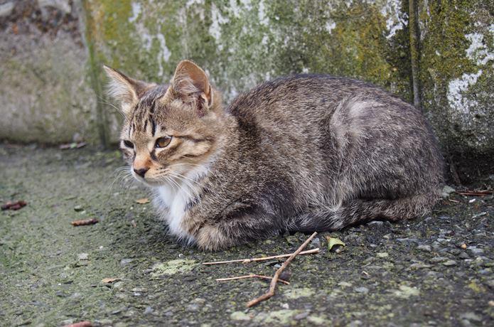 田代島 縞模様の猫