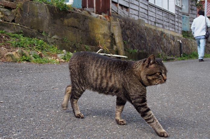 田代島 歩道を横切る猫