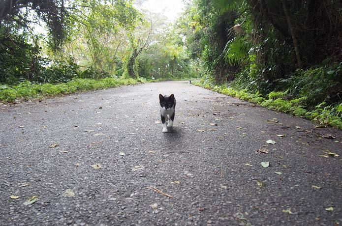 田代島 走ってくる猫