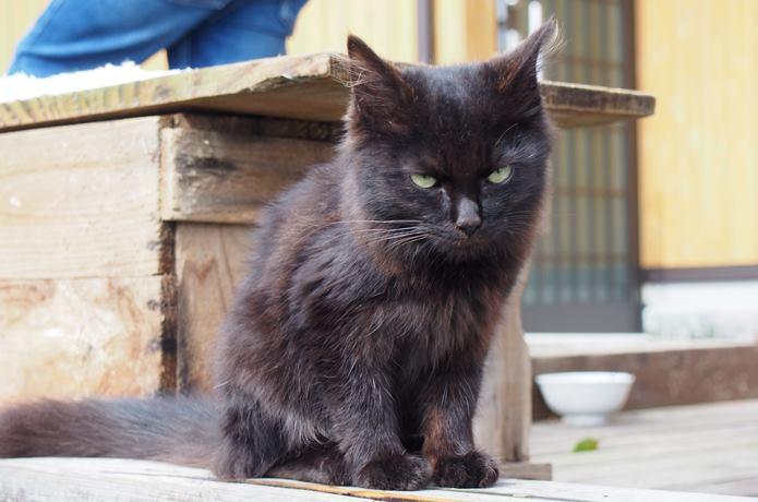 田代島 島の駅の前で居座る猫