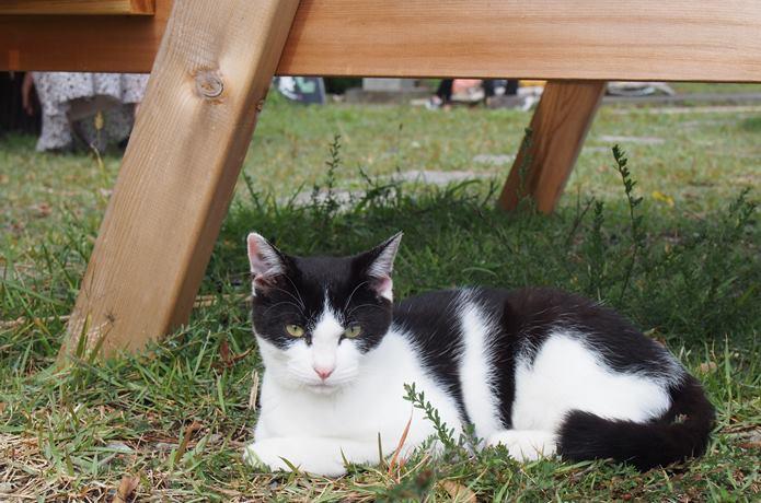 田代島の猫 島の駅の芝生にいた猫