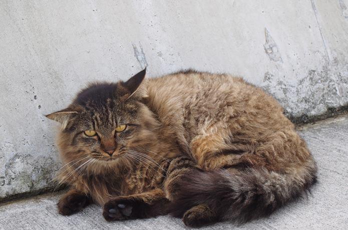 田代島 大泊港で涼む猫
