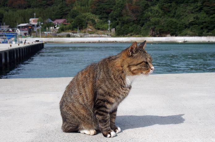 田代島 大泊港 横向きの猫
