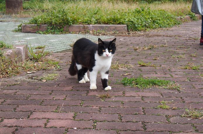 田代島 黒白猫
