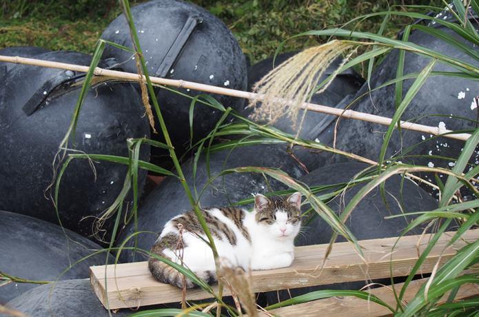 田代島 山側にいた猫