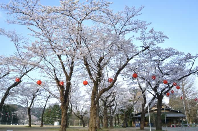 仙台 西公園の桜
