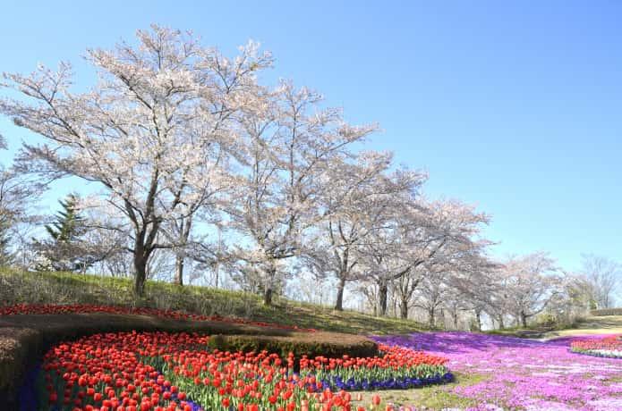 国営みちのく杜の公園の桜