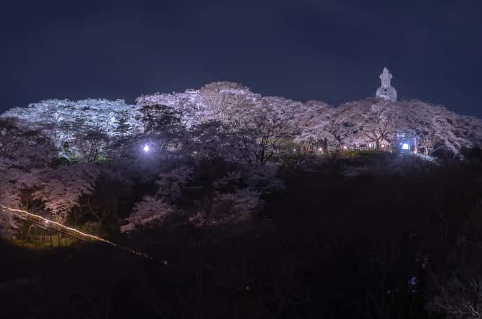 船岡城址公園 夜桜