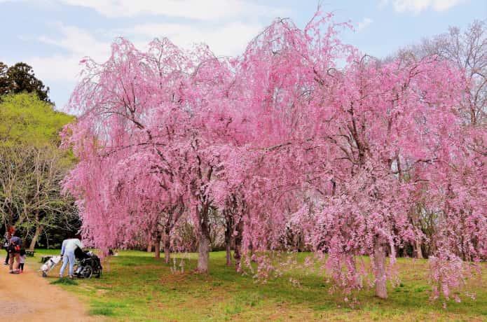 三神峯公園 桜