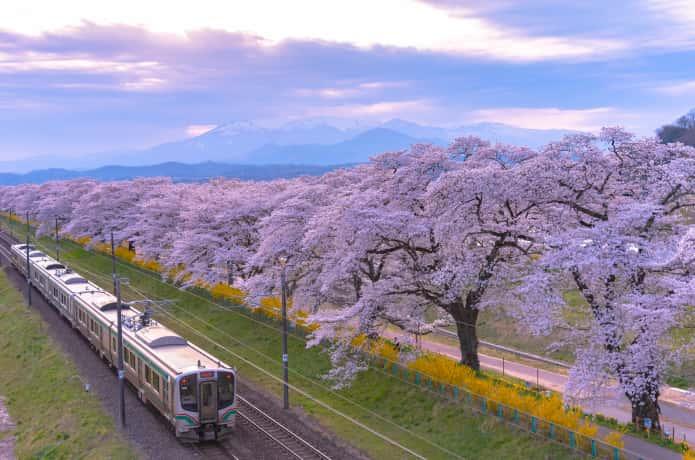 白石川と桜並木