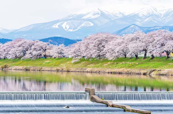 白石市 桜