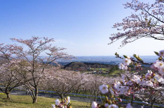 加護坊山の桜
