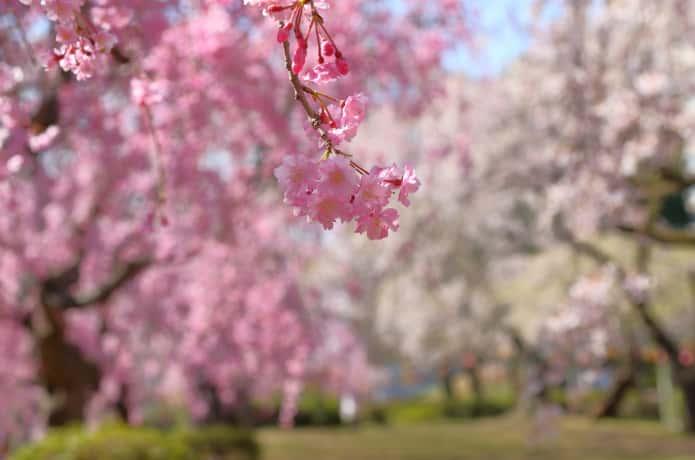 榴岡公園桜