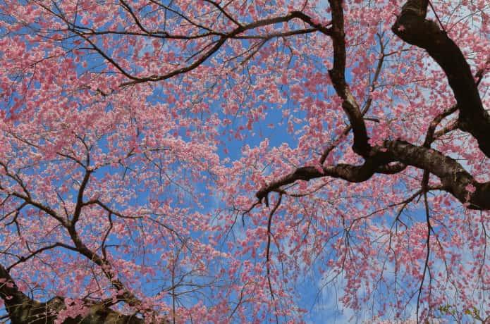 榴岡公園 桜