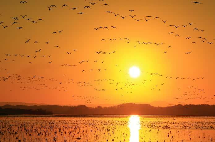 伊豆沼・内沼 いっせいに飛び立った渡り鳥