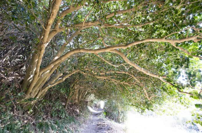 野々島のツバキトンネル