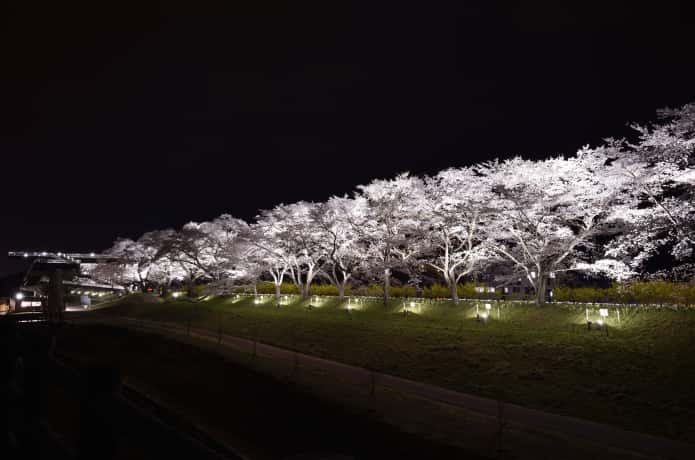 白石川千桜公園の夜桜