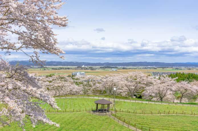 松山御本丸公園の桜
