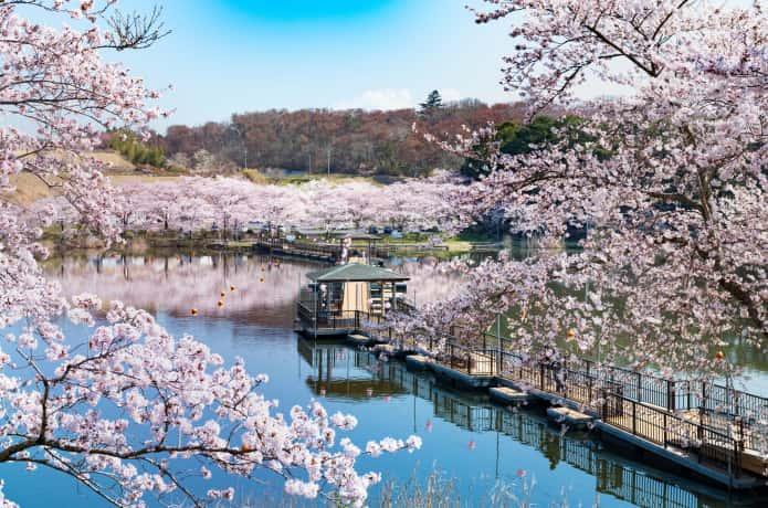 平筒沼の桜