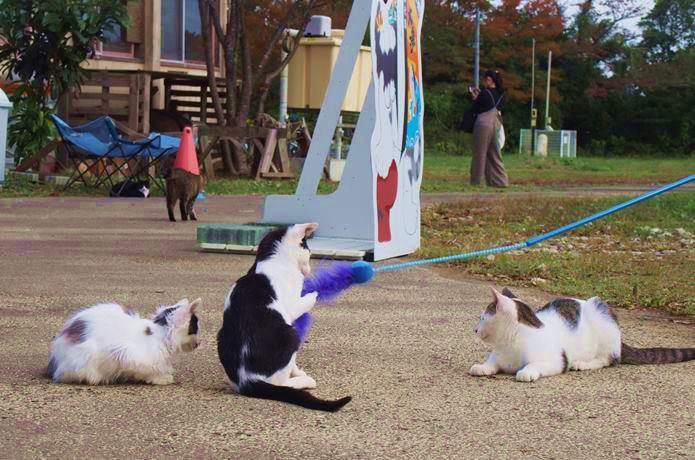 田代島 ねこじゃらしで遊ぶ猫