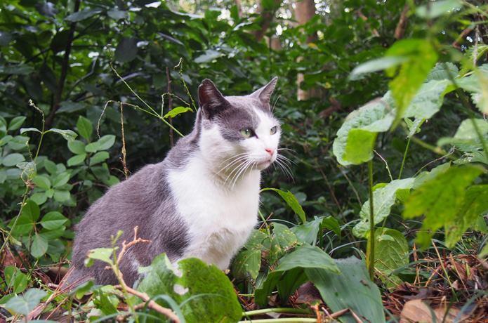 田代島 茂みに潜む猫