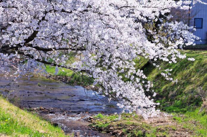 川渡温泉 桜並木