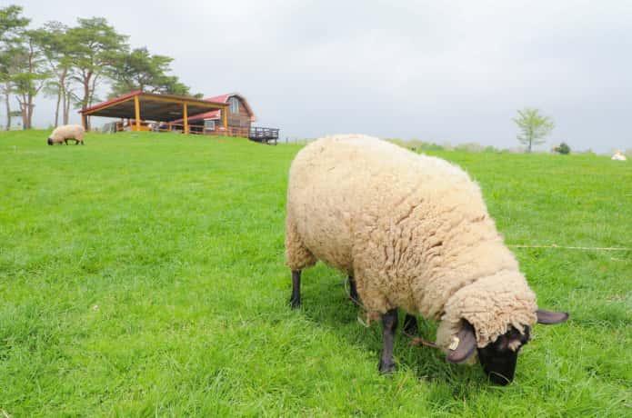 蔵王ハートランドと羊