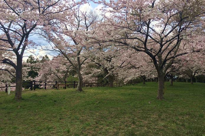 松森城と桜と花見