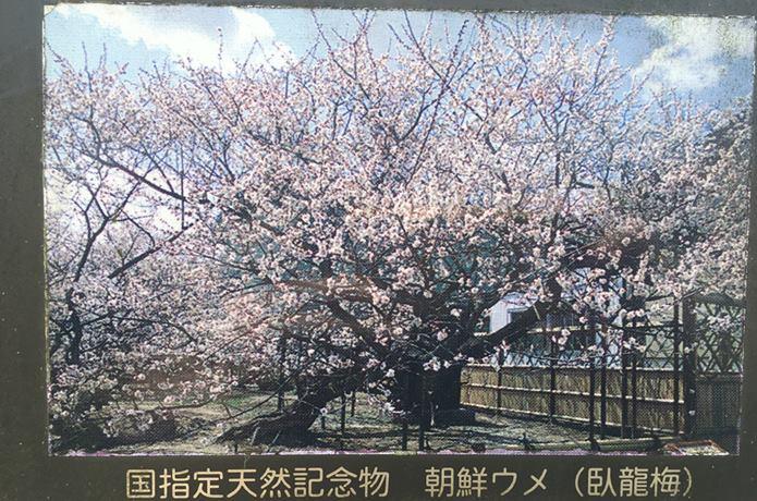 若林城 梅の木