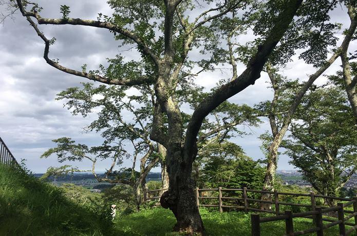 岩切城 桜の木